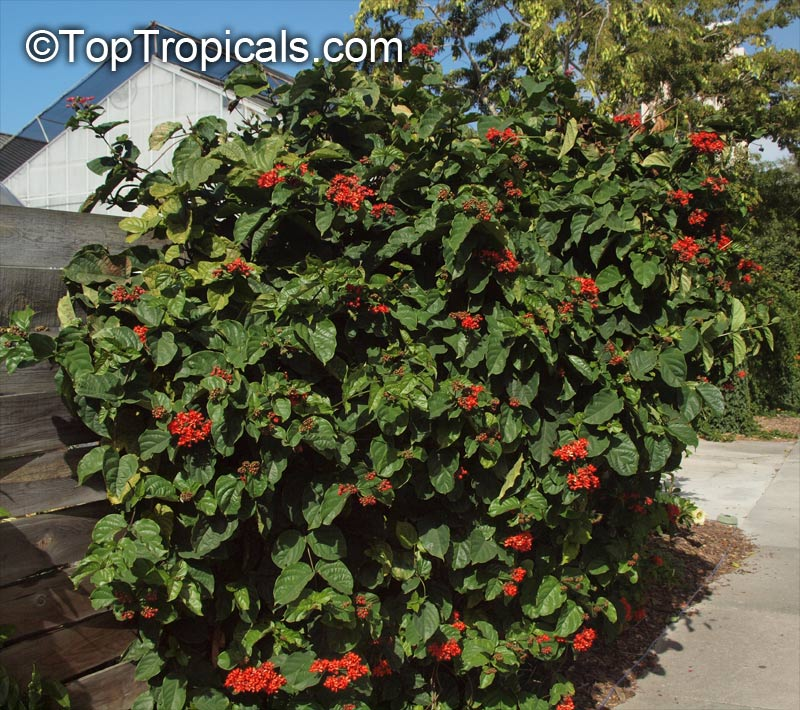 Clerodendrum Splendens Flaming Glorybower Clerodendron