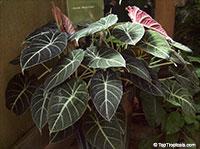 Alocasia Black Velvet, Alocasia reginula, Dwarf Alocasia  Click to see full-size image