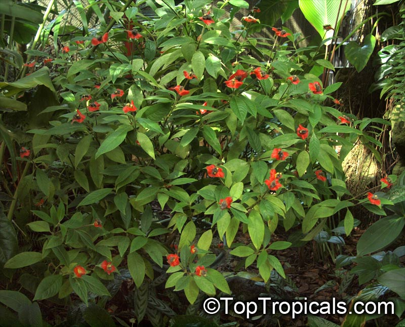 Psychotria poeppigiana, Hot Lips, Labios Ardientes ...