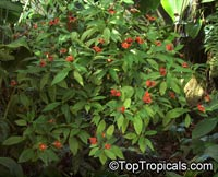 Psychotria poeppigiana, Hot Lips, Labios Ardientes  Click to see full-size image
