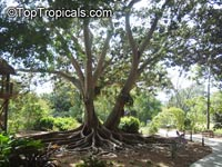 Ficus macrophylla, Ficus macrocarpa, Ficus magnolioides, Moreton Bay Fig