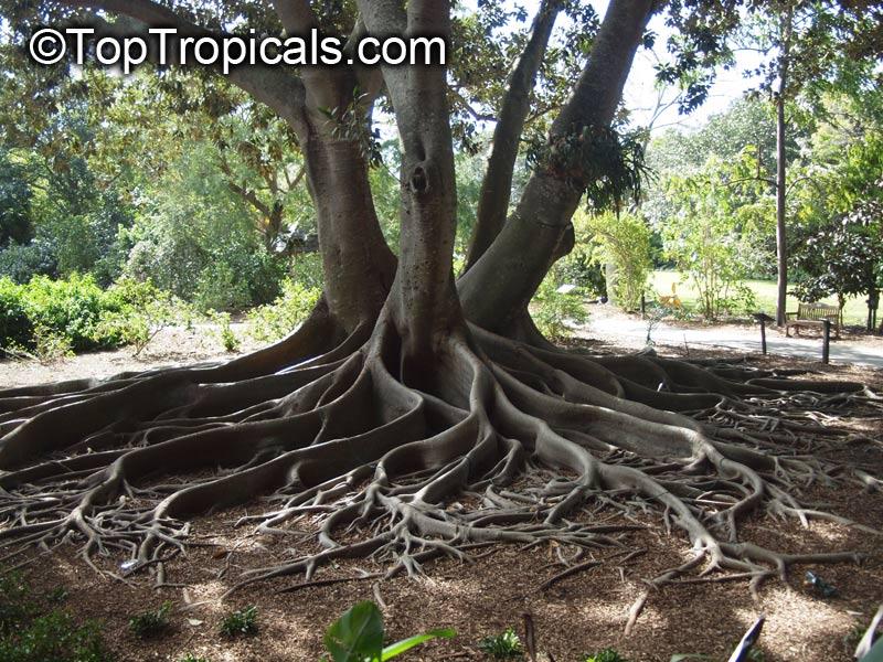 Ficus Macrophylla Ficus Macrocarpa Ficus Magnolioides