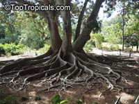Ficus macrophylla, Ficus macrocarpa, Ficus magnolioides, Moreton Bay Fig  Click to see full-size image