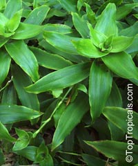 Callisia fragrans - Golden Tendril  Click to see full-size image