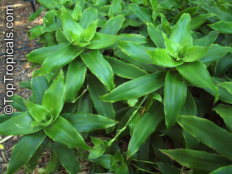 Callisia Fragrans Spironema Fragrans Basket Plant