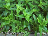 Callisia fragrans, Spironema fragrans, Basket Plant, Golden tendril, Russian Holistic Medicinal Plant