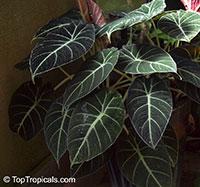 Alocasia reginula - Black Velvet  Click to see full-size image