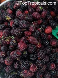 Rubus hybrid - Blackberry Ouchita
