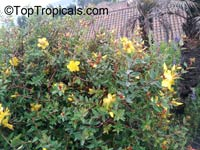 Hypericum sp., St John Wort