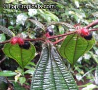 Maieta guianensis, Amazon Ant-plant  Click to see full-size image