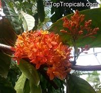 Saraca indica, Saraca asoca, Jonesia asoca, Ashoka Tree, Jonesia Asoka, Gandhapushpa, Sorrowless TreeClick to see full-size image