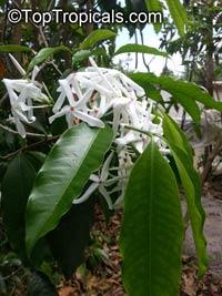 Kopsia officinalis, Kopsia   Click to see full-size image
