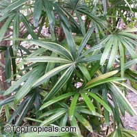 Rhapis excelsa, Lady Palm  Click to see full-size image