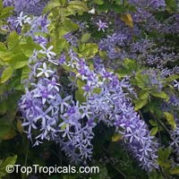 Petrea volubilis - Queens wreath  Click to see full-size image