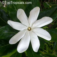 Gardenia taitensis Tiare Tahiti, single flower  Click to see full-size image