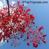 Brachychiton acerifolius, Flame Tree  Click to see full-size image