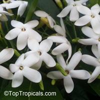 Atractocarpus fitzalanii, Randia fitzalanii, Gardenia fitzalanii, Native Gardenia, Yellow Mangosteen  Click to see full-size image
