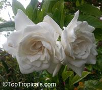 Gardenia augusta, Gardenia jasminoides, Bush Gardenia, Cape Jasmine, Bunga Cina, Bush GardeniaClick to see full-size image