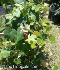 Vitis cinerea, Winter Grape, Possum Grape, Graybark Grape  Click to see full-size image