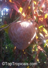 Annona reticulata - Red Custard Apple var. Fernandez  Click to see full-size image