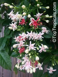 Quisqualis hybrid Thailand, Thai Double Flower Rangoon Creeper