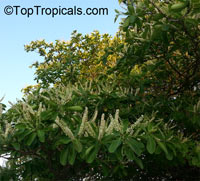 Terminalia catappa, Tropical Almond, Badamier, Java Almond, Indian Almond, Malabar Almond, Singapore Almond, Ketapang, Huu Kwang, Pacific Almond  Click to see full-size image