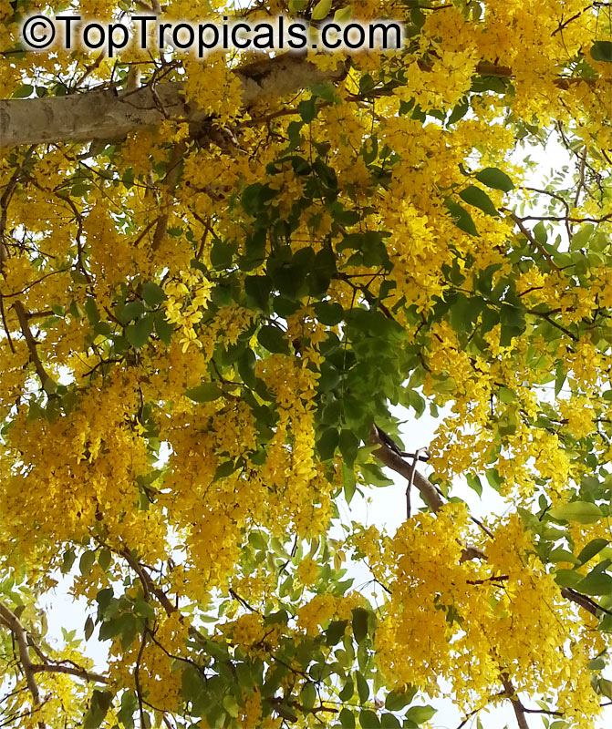 Cassia fistula Golden Shower Tree Indian Laburnum Ratchaphruek