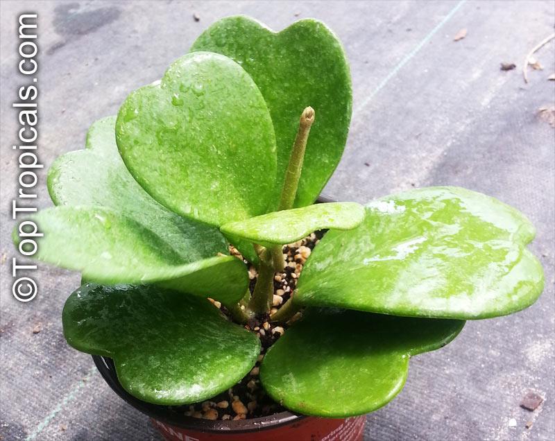 Hoya kerrii single leaf