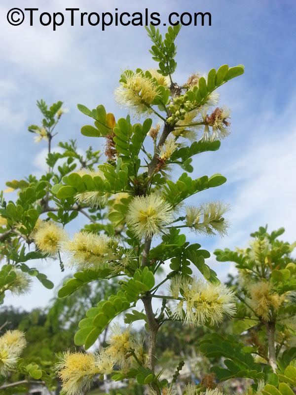 Pin brazilian raintree bonsai tree pithecellobium tortum on pinterest