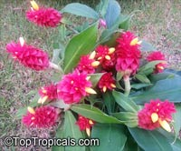 Costus spicatus, Alpinia spicata, Spiked Spiralflag, Red Button Ginger  Click to see full-size image