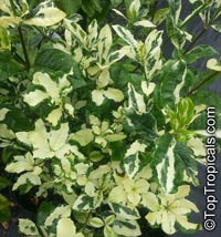 Gardenia sp. variegata, Variegated gardenia  Click to see full-size image