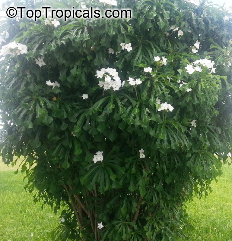 Bridal Bouquet Tree Plumeria Pudica Bridal Bouquet