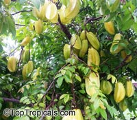 Averrhoa carambola var B-10 - Starfruit, grafted  Click to see full-size image