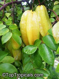 Averrhoa carambola var Hart - Dwarf Starfruit, grafted  Click to see full-size image