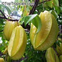 Averrhoa carambola var Bell - Starfruit, grafted  Click to see full-size image