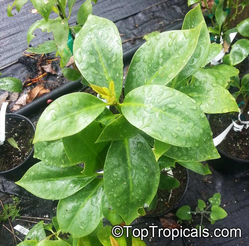 Illiciaceae | plant family | Britannica.com