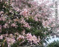 Ceiba speciosa, Chorisia speciosa, Silk Floss Tree, Bombax  Click to see full-size image
