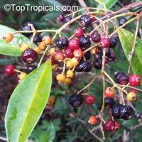 Myrcia tenuifolia, Aulomyrcia tenuifolia, Myrcia  Click to see full-size image