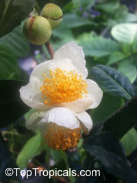 Camellia sinensis, Tea plant