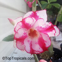 Adenium Double Red Waterfall, Grafted  Click to see full-size image