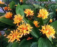 Burbidgea schizocheila - Voodoo Flame Ginger