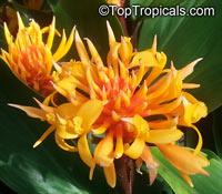 Burbidgea stenantha, BurbidgeaClick to see full-size image