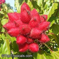 Bixa orellana, Lipstick tree, AnnatoClick to see full-size image