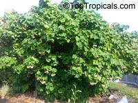 Dombeya wallichii, Dombeya x cayeuxii, Pink Ball Tree, Tropical Hydrangea  Click to see full-size image