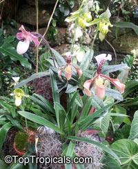 Paphiopedilum sp., Paphiopedilum Orchid, Slipper OrchidClick to see full-size image
