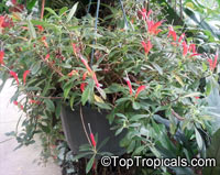 Aeschynanthus sp., Lipstick Plant, Lipstick Vine
