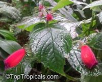 Seemannia purpurascens, Gloxinia purpurascens, Purple Seemannia  Click to see full-size image