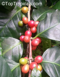 Coffea arabica - Coffee, 3 gal pot  Click to see full-size image
