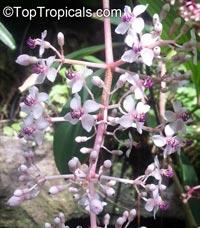 Medinilla pendula, Baladu  Click to see full-size image