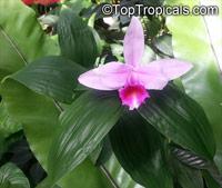 Sobralia sp., Sobralia  Click to see full-size image
